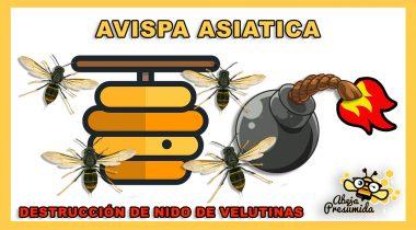 Avispa Asiática 🐝🧡🎥 Destrucción de nido de avispa Velutina